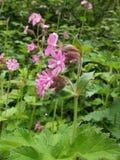 Κόκκινο λουλούδι λυχνίδων Στοκ εικόνα με δικαίωμα ελεύθερης χρήσης