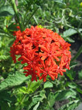 Κόκκινο λουλούδι λυχνίδων (chalcedonica Lychnis) Στοκ φωτογραφία με δικαίωμα ελεύθερης χρήσης