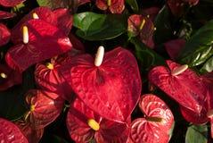 Κόκκινο λουλούδι φλαμίγκο (λουλούδι αγοριών) Στοκ Φωτογραφίες