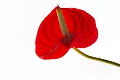 Κόκκινο λουλούδι φλαμίγκο Στοκ φωτογραφία με δικαίωμα ελεύθερης χρήσης
