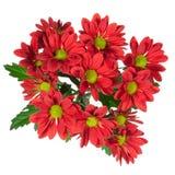 Κόκκινο λουλούδι χρυσάνθεμων Στοκ φωτογραφία με δικαίωμα ελεύθερης χρήσης