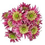 Κόκκινο λουλούδι χρυσάνθεμων Στοκ Εικόνα