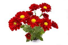 Κόκκινο λουλούδι χρυσάνθεμων Στοκ Εικόνες