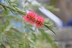 Κόκκινο λουλούδι - χωριό Portmerion στην Ουαλία στοκ εικόνες