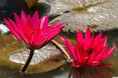 Κόκκινο λουλούδι λωτού Στοκ φωτογραφία με δικαίωμα ελεύθερης χρήσης