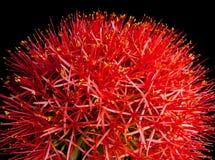 Κόκκινο λουλούδι Στοκ Φωτογραφία