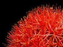 Κόκκινο λουλούδι Στοκ εικόνα με δικαίωμα ελεύθερης χρήσης