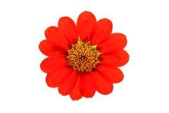 Κόκκινο λουλούδι Στοκ Εικόνα