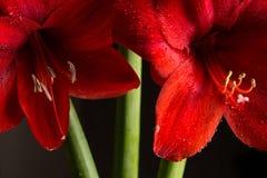 Κόκκινο λουλούδι amaryllis στο μαύρο υπόβαθρο Hortorum Hippeastrum Στοκ εικόνα με δικαίωμα ελεύθερης χρήσης