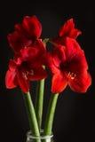 Κόκκινο λουλούδι amaryllis στο μαύρο υπόβαθρο Hortorum Hippeastrum Στοκ Εικόνες