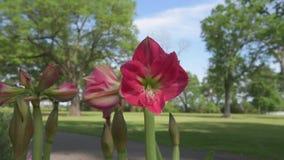 Κόκκινο λουλούδι Amaryllis στο πάρκο απόθεμα βίντεο