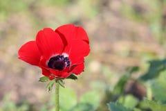Κόκκινο λουλούδι Anemone Στοκ εικόνες με δικαίωμα ελεύθερης χρήσης