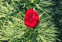 Κόκκινο λουλούδι anomala Paeonia tenuifolia Paeonia στο πυκνό πράσινο φύλλωμα Στοκ Εικόνες