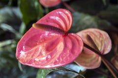 Κόκκινο λουλούδι Anthrium Στοκ Εικόνα
