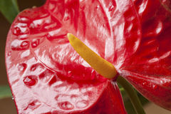 Κόκκινο λουλούδι, anthurium, κινηματογράφηση σε πρώτο πλάνο Στοκ φωτογραφία με δικαίωμα ελεύθερης χρήσης