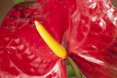Κόκκινο λουλούδι, anthurium, κινηματογράφηση σε πρώτο πλάνο Στοκ Φωτογραφία