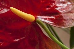 Κόκκινο λουλούδι, anthurium, κινηματογράφηση σε πρώτο πλάνο Στοκ Εικόνα