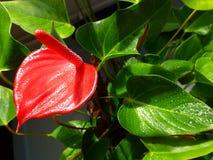 Κόκκινο λουλούδι - Anturium Στοκ Φωτογραφίες