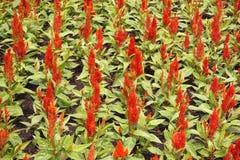 Κόκκινο λουλούδι argentea celosia Στοκ φωτογραφίες με δικαίωμα ελεύθερης χρήσης
