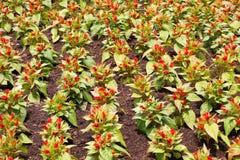 Κόκκινο λουλούδι argentea celosia Στοκ Φωτογραφία