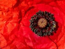 Κόκκινο λουλούδι Coronaria anemone Στοκ Εικόνες