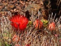 Κόκκινο λουλούδι Fishhook στον κάκτο βαρελιών Στοκ φωτογραφία με δικαίωμα ελεύθερης χρήσης