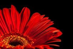 Κόκκινο λουλούδι gerbera στο μαύρο υπόβαθρο Στοκ Εικόνες