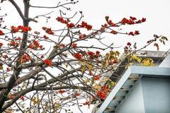 Κόκκινο λουλούδι Guangzhou Guangdong Κίνα βαμβακιού Στοκ φωτογραφία με δικαίωμα ελεύθερης χρήσης