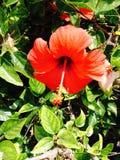 Κόκκινο λουλούδι gumamela στοκ εικόνα με δικαίωμα ελεύθερης χρήσης