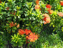 Κόκκινο λουλούδι Ixora ή λουλούδι ακίδων, στον κήπο και το νερό spalsh Στοκ Φωτογραφία