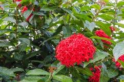 Κόκκινο λουλούδι ixora Στοκ φωτογραφία με δικαίωμα ελεύθερης χρήσης