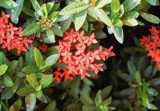 Κόκκινο λουλούδι Ixora Στοκ Εικόνες