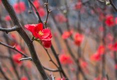 Κόκκινο λουλούδι japonica Chaenomeles στο brunch χωρίς φύλλα σε Toowoomba, Αυστραλία στοκ εικόνες