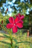 Κόκκινο λουλούδι Neriumoleander στοκ εικόνα με δικαίωμα ελεύθερης χρήσης