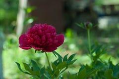 Κόκκινο λουλούδι Peony στον κήπο Στοκ Εικόνα