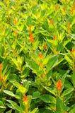 Κόκκινο λουλούδι Plumed Celosia Στοκ Εικόνες