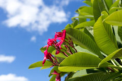 Κόκκινο λουλούδι Plumeria ή frangipani με το φωτεινό μπλε ουρανό Στοκ Εικόνες