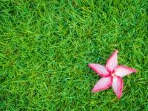 Κόκκινο λουλούδι Plumeria με τη δροσιά στο λιβάδι Στοκ Φωτογραφίες