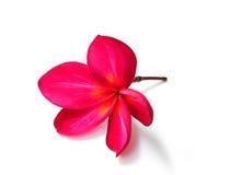 Κόκκινο λουλούδι plumeria Στοκ Εικόνες