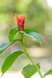Κόκκινο λουλούδι Smith Zingiber zerumbet στη φύση Στοκ φωτογραφία με δικαίωμα ελεύθερης χρήσης