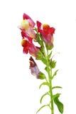 Κόκκινο λουλούδι Snapdragon Στοκ Εικόνες