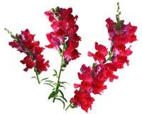 Κόκκινο λουλούδι Snapdragon Στοκ Εικόνα