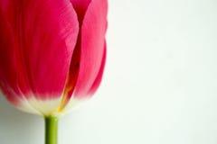 Κόκκινο οφθαλμών Το ανοιγμένο λουλούδι Φωτογραφία για το σχέδιό σας Στοκ Φωτογραφία