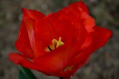 Κόκκινο πάθος Στοκ εικόνα με δικαίωμα ελεύθερης χρήσης