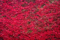 Κόκκινο πέντε-με φύλλα φύλλωμα κισσών στον τοίχο Στοκ φωτογραφίες με δικαίωμα ελεύθερης χρήσης