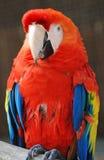 κόκκινο παπαγάλων Στοκ Φωτογραφία