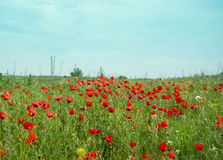 κόκκινο παπαρουνών λιβαδ στοκ φωτογραφίες