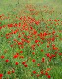κόκκινο παπαρουνών λιβαδ στοκ φωτογραφία με δικαίωμα ελεύθερης χρήσης