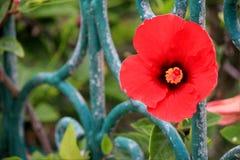 κόκκινο παπαρουνών λουλουδιών στοκ εικόνα με δικαίωμα ελεύθερης χρήσης