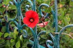 κόκκινο παπαρουνών λουλουδιών στοκ φωτογραφία
